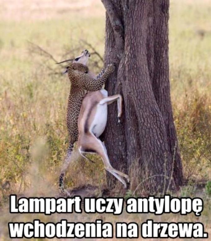 Lampart uczy antylope wchodzenia na drzewo
