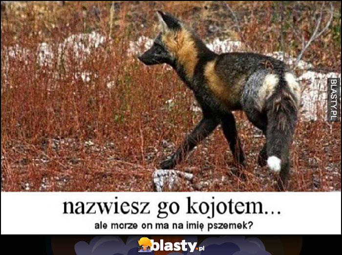 Nazwiesz go kojotem a może on ma na imię Pszemek?