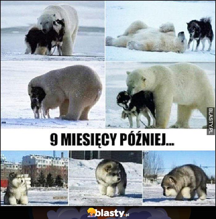 Romans wilk niedźwiedź polarny, 9 miesięcy później mieszaniec