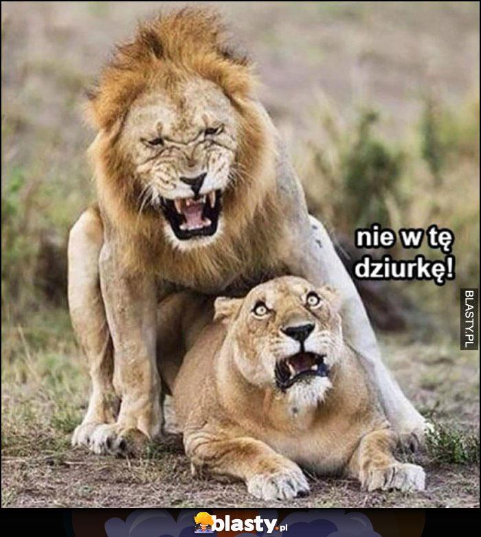Lwy miłość lew lwica, nie w tę dziurkę