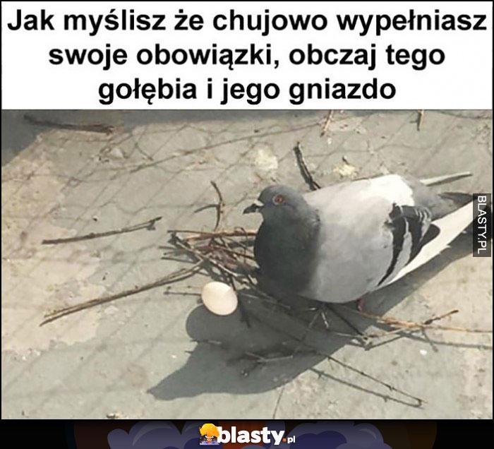 Jak myślisz że kijowo wypełniasz swoje obowiązki obczaj tego gołębia i jego gniazdo prowizorka