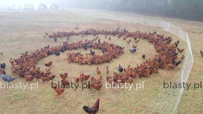 Kiedy Twoje kury przywołują Czarne Mocne