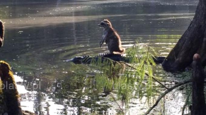 Kiedy wykorzystujesz sytuację, żeby przejechać się na aligatorze