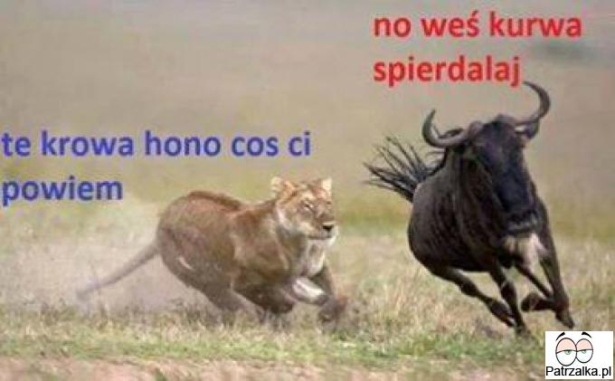 Lew chce powiedzieć coś krowie