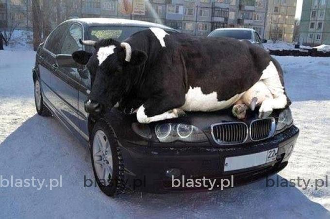 Myślałem, że jak kupię BMW to poznam fajną laskę. - A tu jakaś krowa się do mnie przykleiła