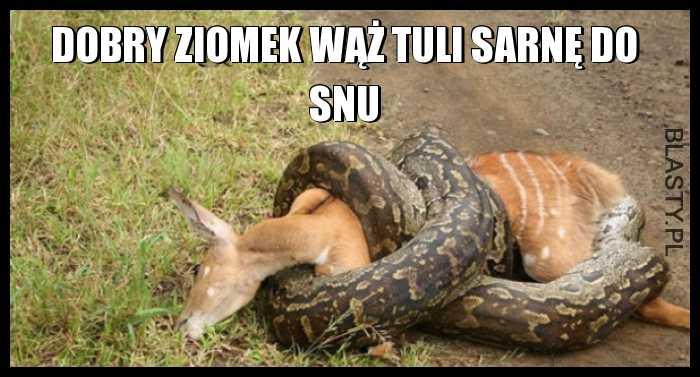 Dobry ziomek wąż tuli sarnę do snu