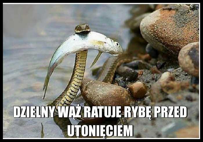 Dzielny wąż ratuje rybę przed utonięciem