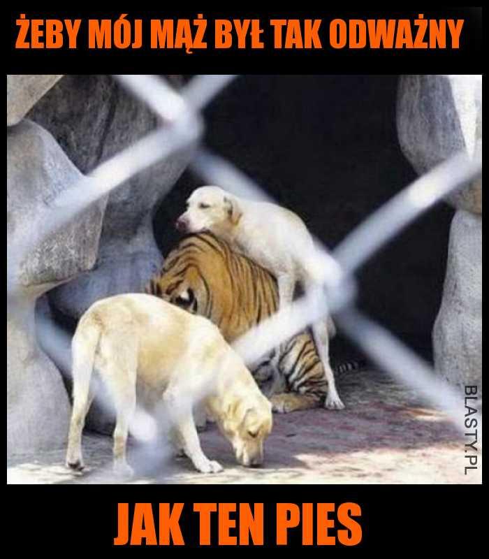 Pies dyma Tygrysa