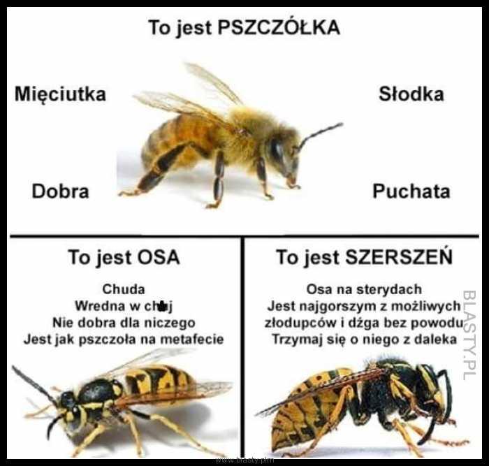 Porównanie pszczółka vs osa vs szerszeń