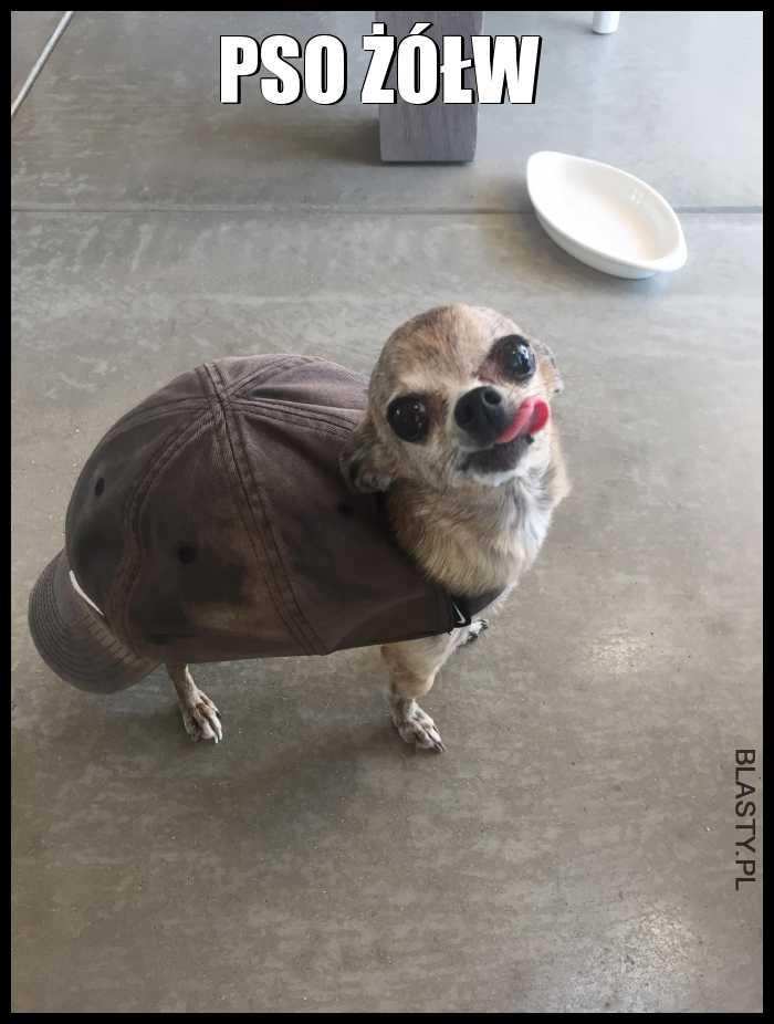 Pso zółw