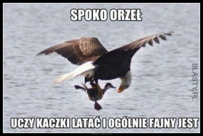 Spoko orzeł uczy kaczki latać