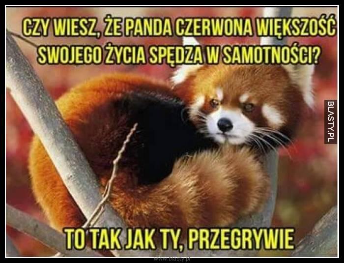Czy wiesz, że panda czerwona większość swojego życia spędza w samotności