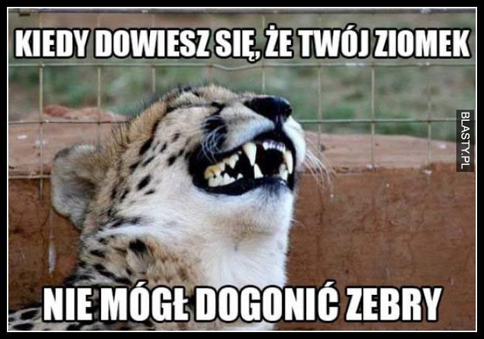 tygrysek i zebra