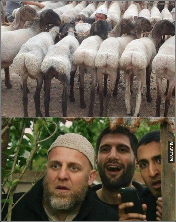 araby podgladaja owce