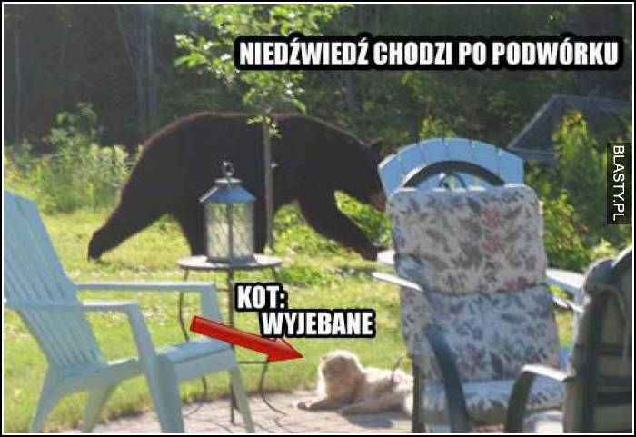 niedźwiedź chodzi po podwórku, a kot ma wyjebane