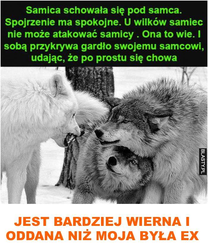 samica wilków