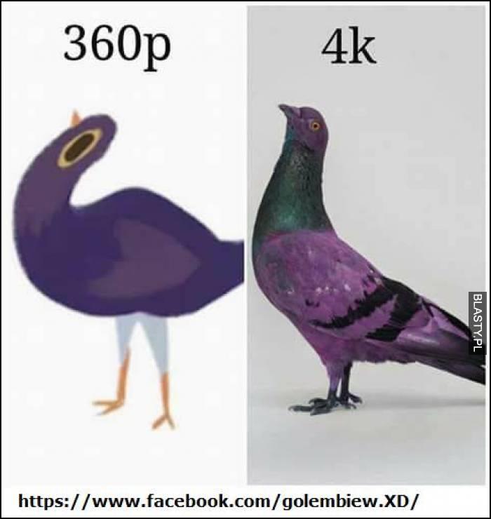 Gołąb 360p vs 4k