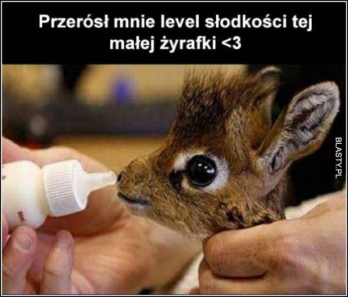Mała żyrafka
