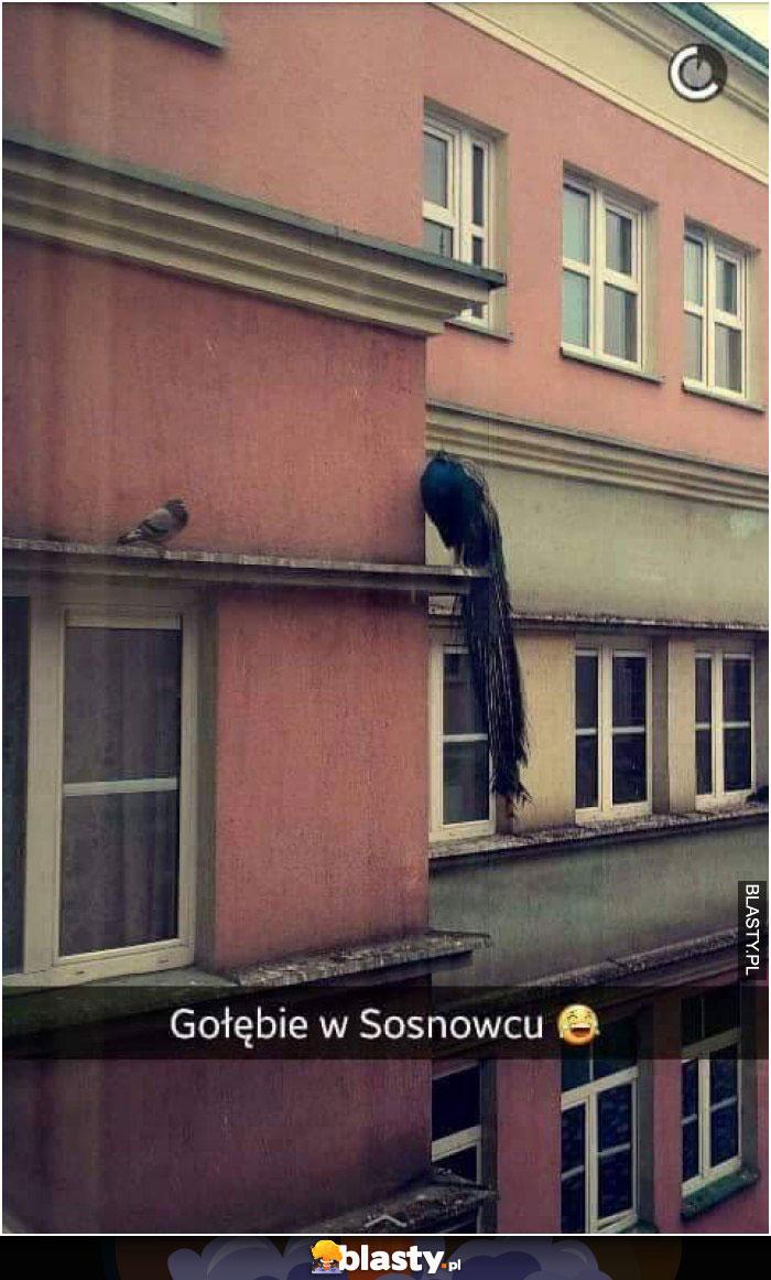 Gołębie w Sosnowcu