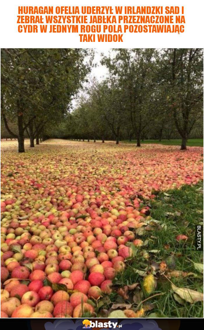 Huragan Ofelia uderzył w irlandzki sad i zebrał wszystkie jabłka przeznaczone na cydr w jednym rogu pola pozostawiając taki widok