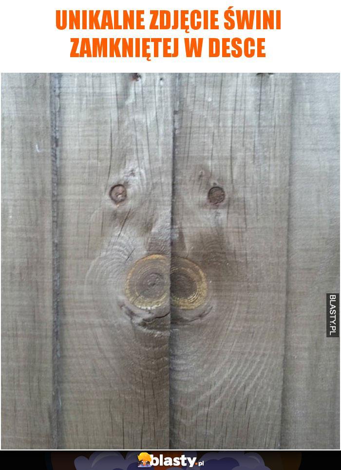 Unikalne zdjęcie świni zamkniętej w desce