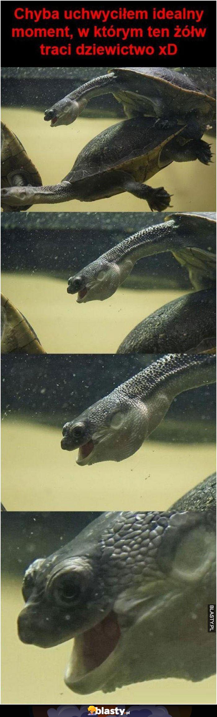 Żółw traci dziewictwo