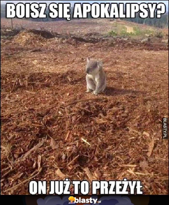 Boisz się apokalipsy on już to przeżył mały miś koala