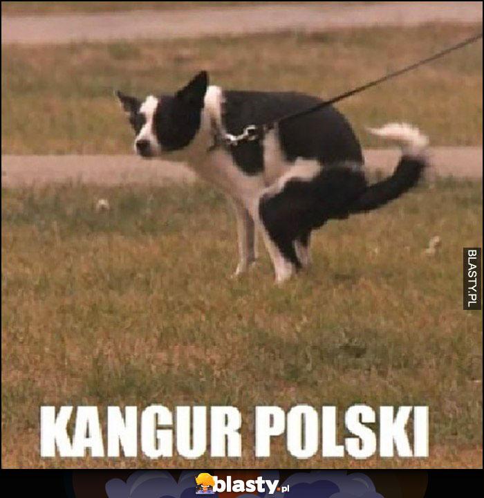 Kangur polski srający pies