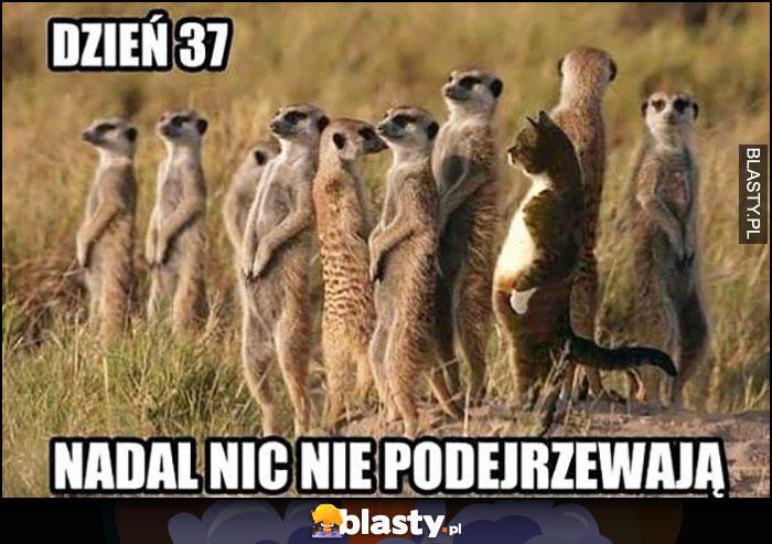 Dzień 37 nadal nic nie podejrzewają kot surykatki