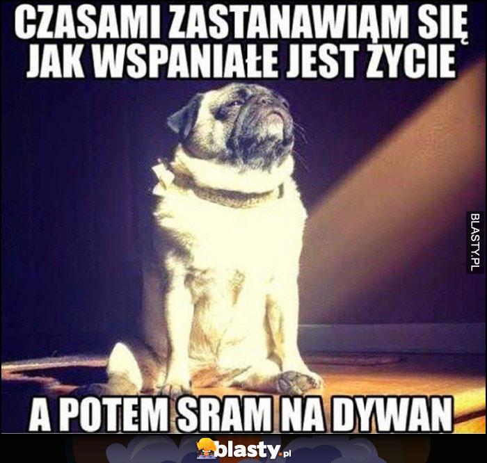 Pies czasami zastanawiam się jak wspaniałe jest życie, a potem sram na dywan