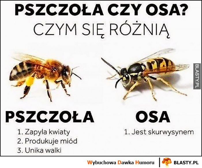 Pszczoła czy osa czym się różnią: jest skurwysynem vs zapyla kwiaty, produkuje miód, unika walki