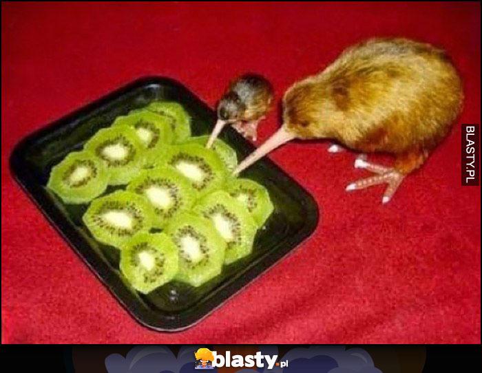 Ptaki kiwi jedzące owoc kiwi