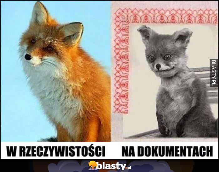 Lis lisek w rzeczywistości vs na dokumentach