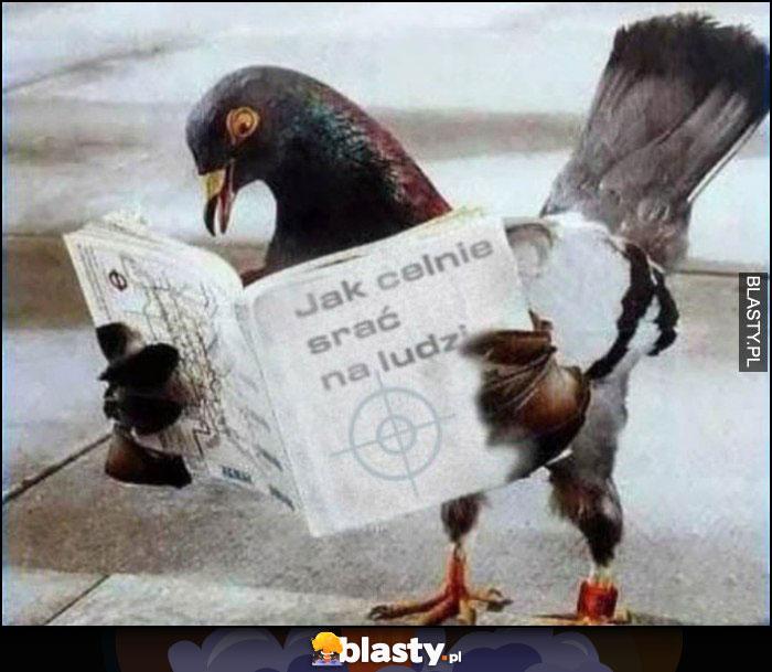 Gołąb czyta książkę jak celnie srać na ludzi
