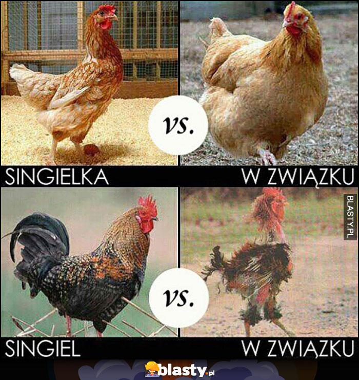 Kogut kura singiel vs w związku porównanie