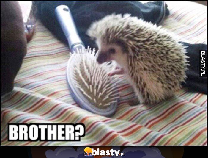 Jeż do szczotki: bracie? brother?