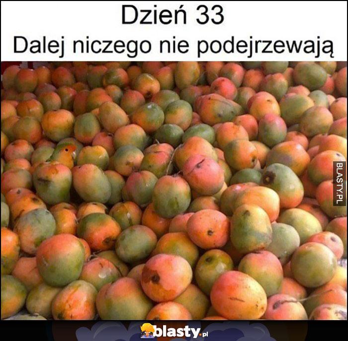 Dzień 33 dalej niczego nie podejrzewają papuga w jabłkach
