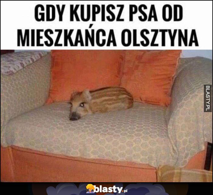 Gry kupisz psa od mieszkańca Olsztyna mały dzik