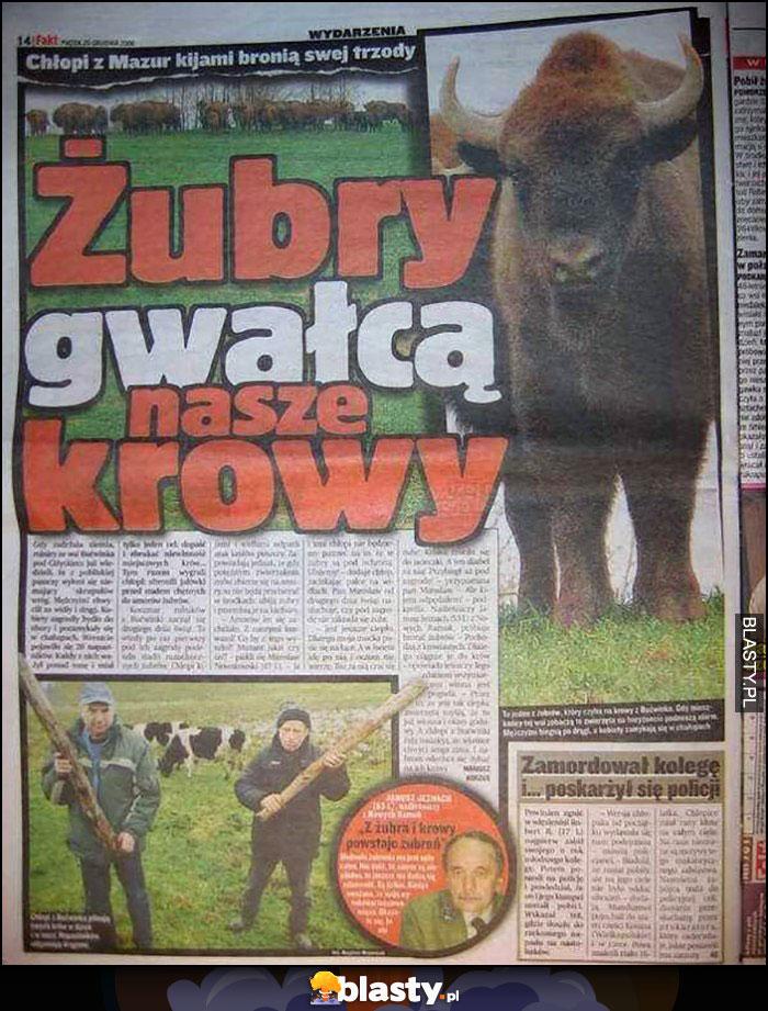 Żubry gwałcą nasze krowy fakt artykuł w gazecie