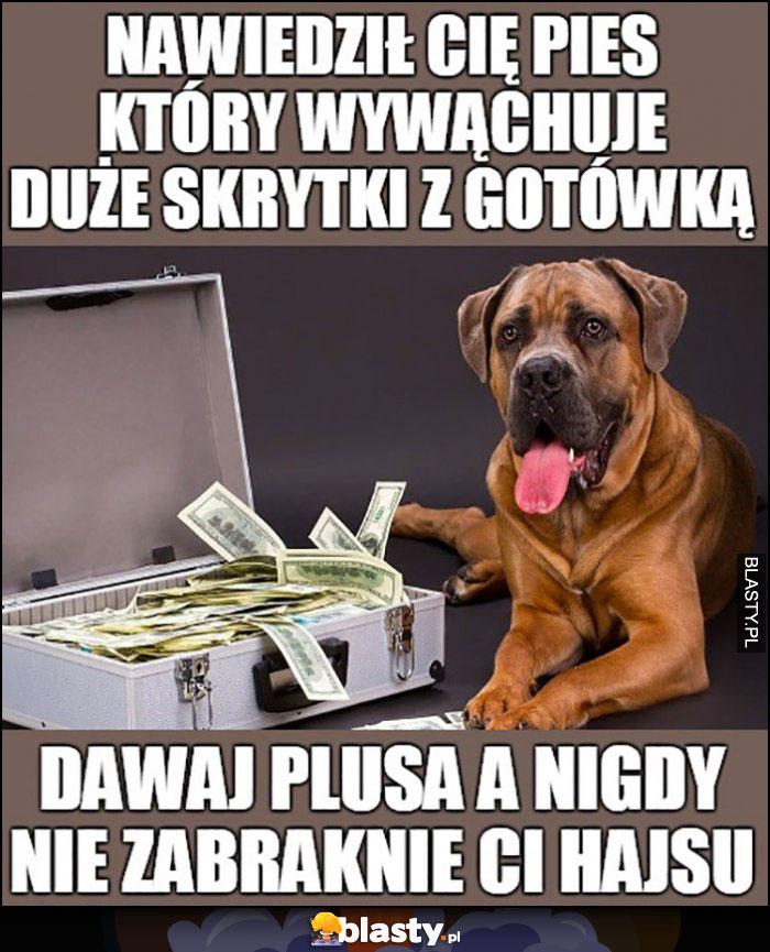 Nawiedził Cię pies który wywąchuje duże skrytki z gotówką, dawaj plusa a nigdy nie zabraknie Ci hajsu