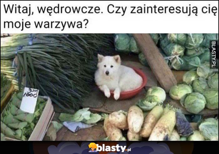 Witaj wędrowcze, czy zainteresują cię moje warzywa? Pies