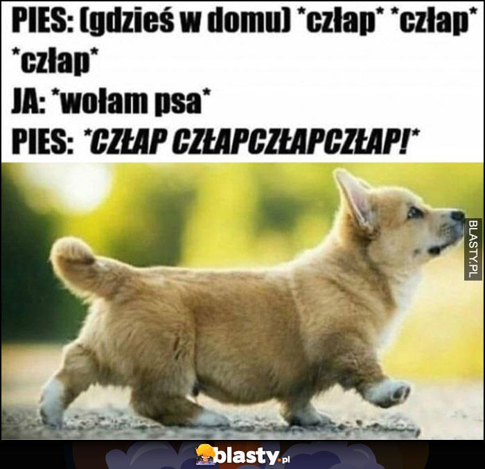 Pies: gdzieś w domu człap człap, ja: wołam psa, pies:człapczłapczłap