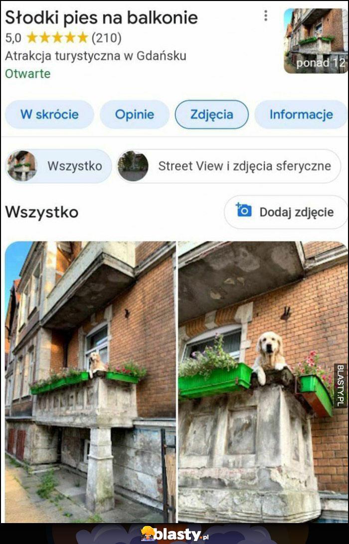 Słodki pies na balkonie atrakcja turystyczna w Gdańsku Google maps