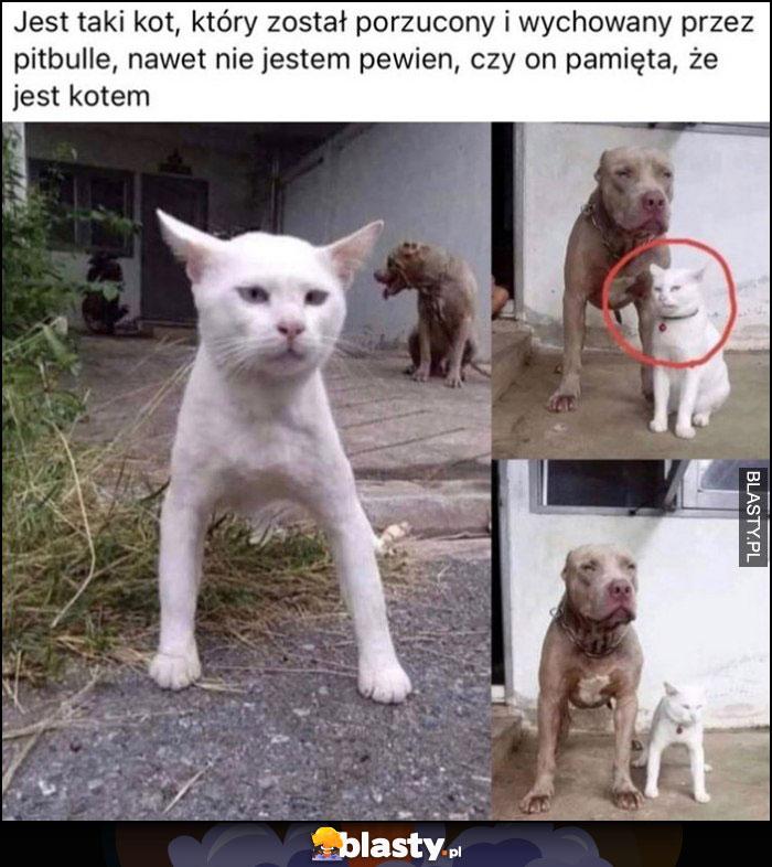 Kot wychowany przez pitbulle, nie jestem pewien czy on pamięta, że jest kotem