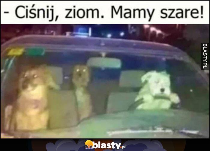 Psy pies kierowca ciśnij ziom, mamy szare